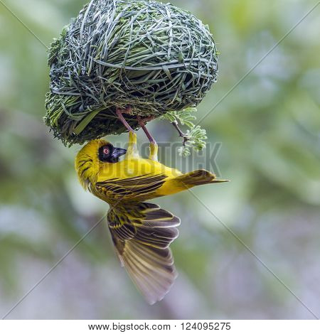 Specie Ploceus velatus family of Ploceidae, southern masked weaver nesting in Kruger Park