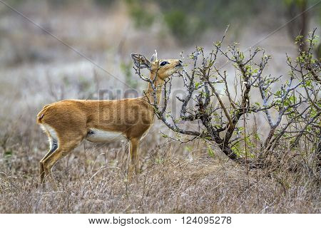 Specie Raphicerus campestris family of bovidae, steenbok in the bush in Kruger park