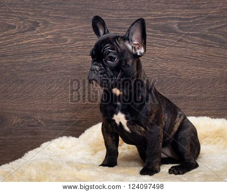 The dog sits at the wooden wall. French bulldog puppy. Color black, brindle
