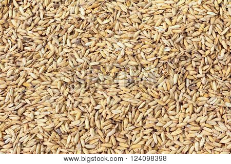Paddy rice texture or paddy rice background for design with copy space for text or image.