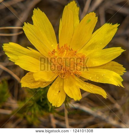 Adonis spring flower in the blurry background