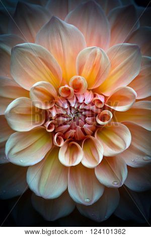 Closeup of a beautiful dahlia flower in apricot peach pastel tones on dark background