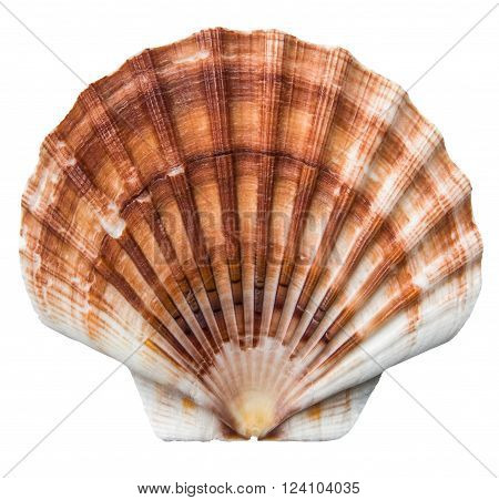 Isolated Brown And White Scallops Shell On A White Background