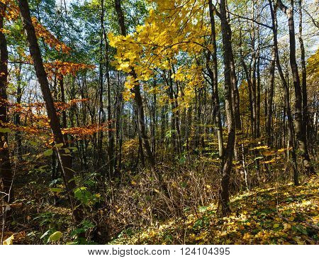 Autumn forest strewn with yellow beech and maple leaves.