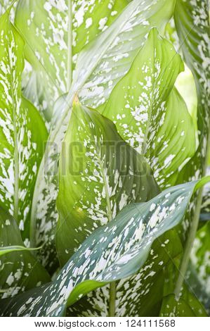 fresh green Dieffenbachia tree in nature garden