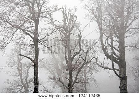 Old trees seen through the dense fog