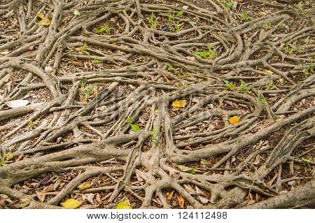 close up dry banyan roots in nature garden