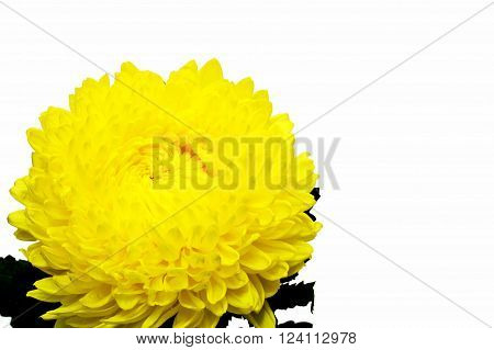 yellow flower for Buddha and decorate on background
