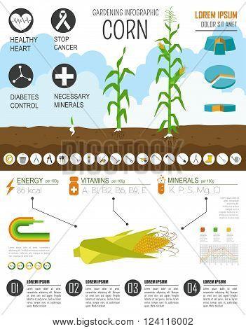 Gardening work, farming infographic. Corn. Graphic template. Flat style design. Vector illustration