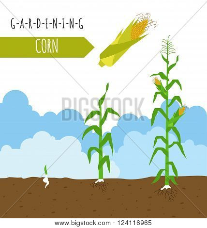 Gardening work, farming infographic. Corn. Graphic template. Flat style design. Vector illustration