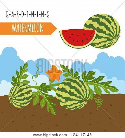 Gardening work, farming infographic. Watermelon. Graphic template. Flat style design. Vector illustration