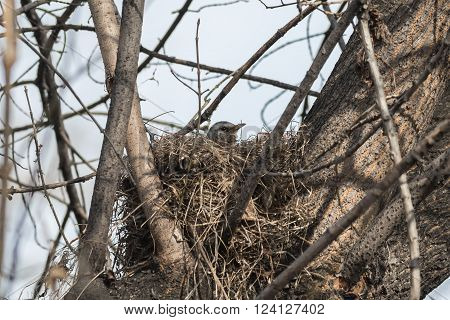 Fieldfare (Turdus pilaris) incubates eggs in her nest