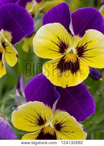 large lush fragrant flowers of bright yellow and purple violas in the ornamental garden a summer morning and green bright green around