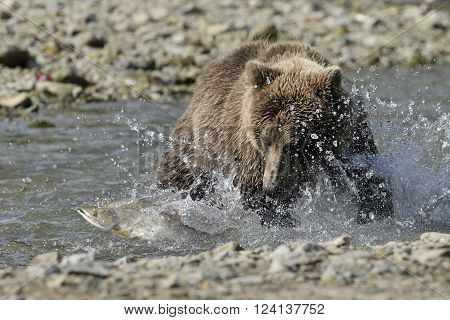 Grizzly bear catching fish in water during salmon run