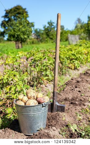 Harvesting of young fresh not washed potatoes with metal bucket