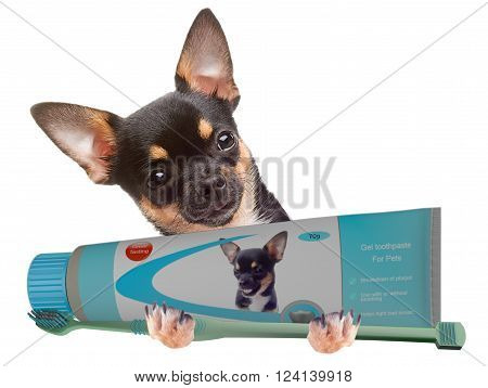 Cute Chihuahua dog brushing teeth isolated on white background