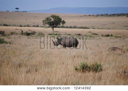 White Rhino In African Savannah