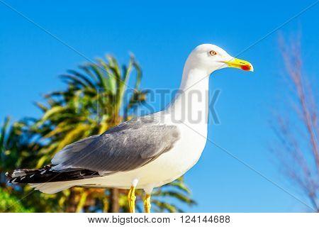 Seagull clouse up on Promenade de la Croisette, the Croisette and Port Le Vieux of Cannes, France Cote d'Azur