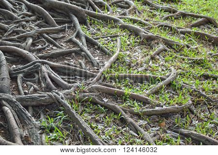 close up roots banyan tree in nature garden