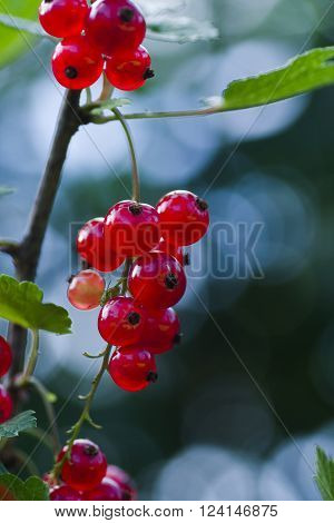 red currant berries stii growing on schrub