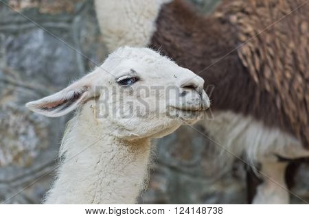 Portrait of white Llama from south America at summer morning