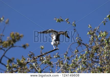 Osprey spreading it's wings and revealing it's beautiful white underside plumage as it prepares to take flight from a tree branch on a sunny day. ** Note: Visible grain at 100%, best at smaller sizes