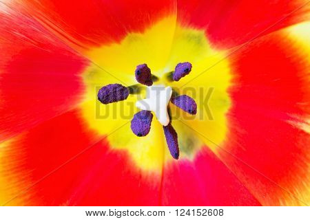 Macro close up shot of red tulip with stamen