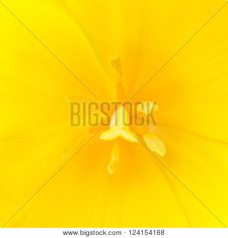 Macro close up shot of yellow tulip with stamen