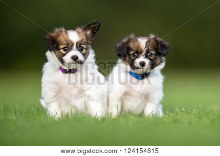Two Young Papillon Dog Puppies