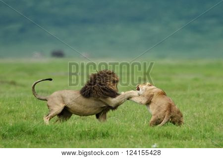 Lion (panthera leo) and lioness fighting as part of mating ritual in natural park, Tanzania, Africa