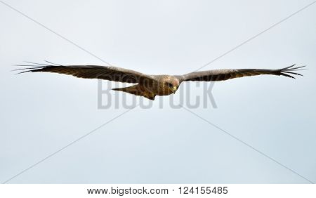 The African marsh harrier (Circus ranivorus) in natural habitat