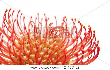 Red Protea Flower