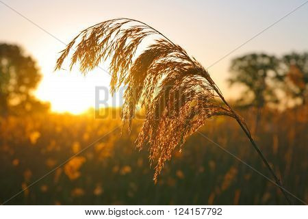 Bulrush lit by the rays of the rising sun