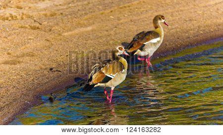 Egyptian Goose wondering near River in Serengeti