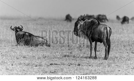 Relaxing Blue Wildebeest in Sunshine at Northern Serengeti