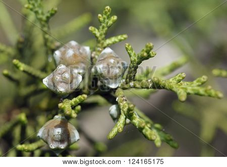 Phoenician Juniper - Juniperus phoenicea Shoots with new female cones