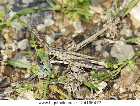 Stick-insect Cricket - Acrida ungarica Brown Form Adult