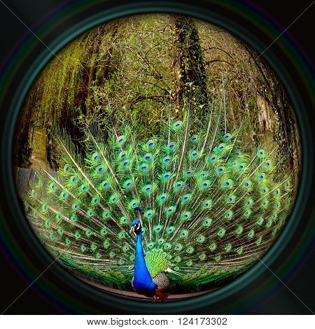 Male peacock in the camera objective fisheye lens effect
