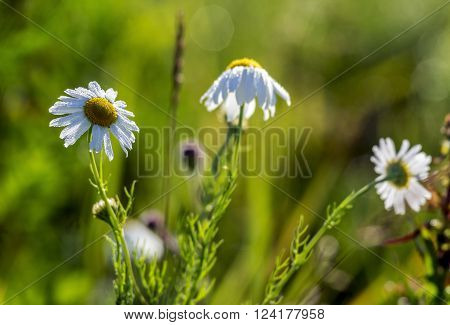 Chamomile three field lit by the sun grass summer green colorful blurred background bokeh