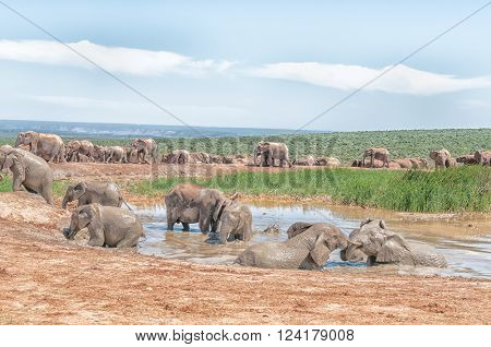 A large group of elephants at a muddy waterhole while some take a mud bath