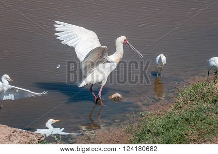 An African spoonbill Platalea alba with its wings spread and Cattle egrets Bubulcus ibis