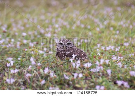 Burrowing Owl in Cape Coral Florida sitting in the field next to its home.