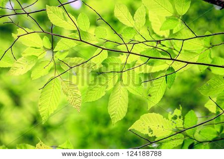 Close-up image of bright green leaves on a tree brunch in spring