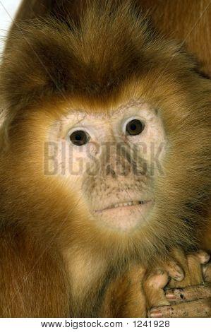 Baby Javan Brown Langur