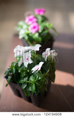 Vinca flowers white and pink in pots in sunny day. Closeup.