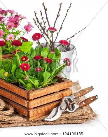 Spring flowers in wooden bucket with garden tools. Isolated on white background