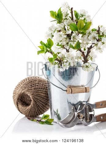 Spring still life branch blooming plum in bucket with garden tools. Isolated on white background