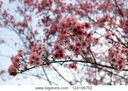 Thai sakura in winter at Phu Lomloh Loi Province Thailand.