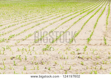 agricultural field on which to grow crops - corn. Spring. close-up