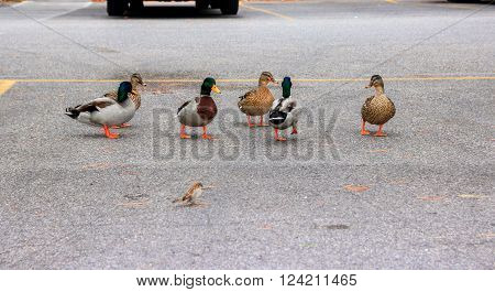 Ducks walk freely in the city by the car park. Sirmione, Italy